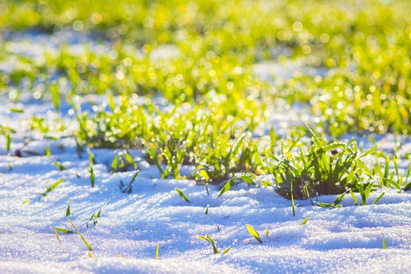 Des cultures de blé d'hiver sont couvertes de neige en hiver L'herbe est contre le soleil pendant le matin dans le winter_ photos stock