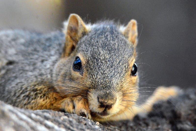 Des Eichhörnchens Abschluss oben stockbilder
