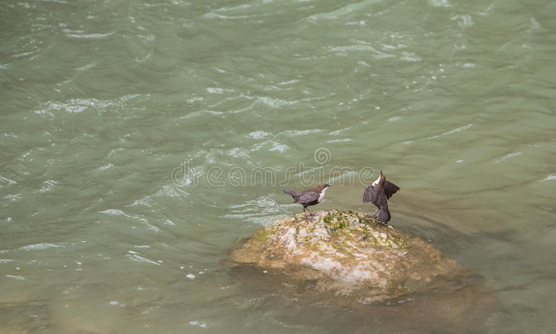 couples Blanc-throated de Dipper sur la roche photo stock