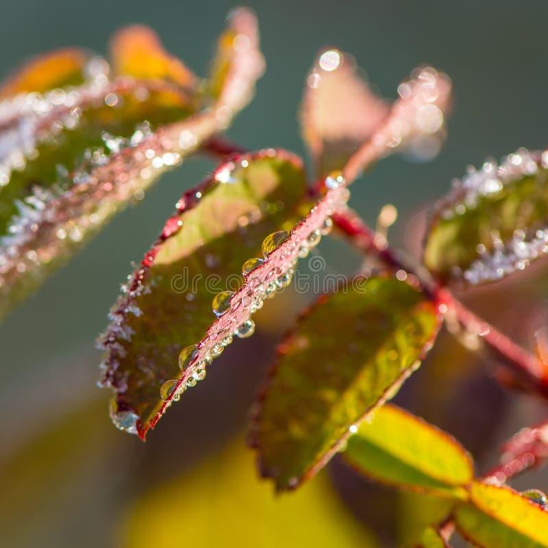 Des feuilles de l'usine sont couvertes de baisses de l'eau et de gel images libres de droits