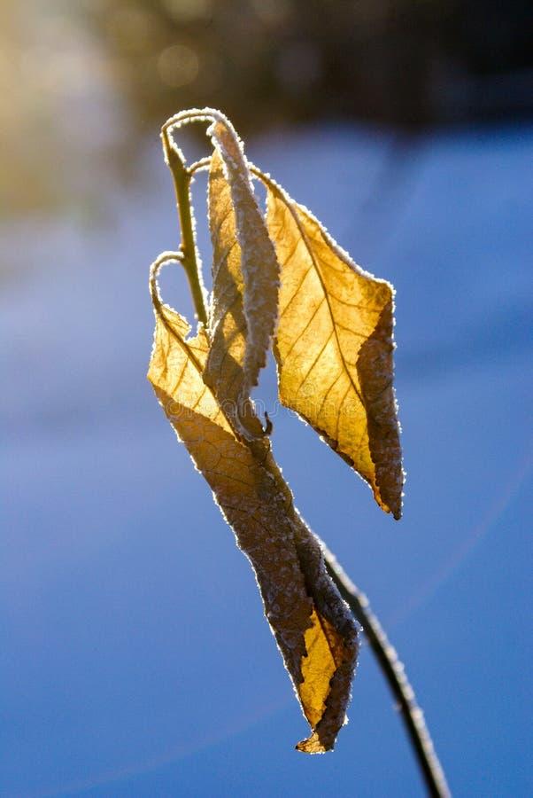 Des feuilles sèches sur une branche d'un pommier sont couvertes de plan rapproché de gelée avec les premiers rayons du soleil en  image libre de droits