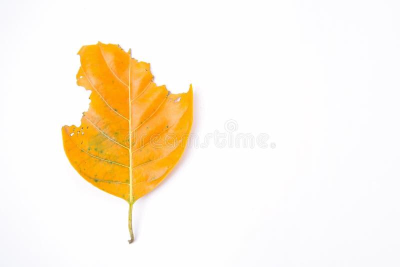 Des feuilles sont mangées par des vers photos stock