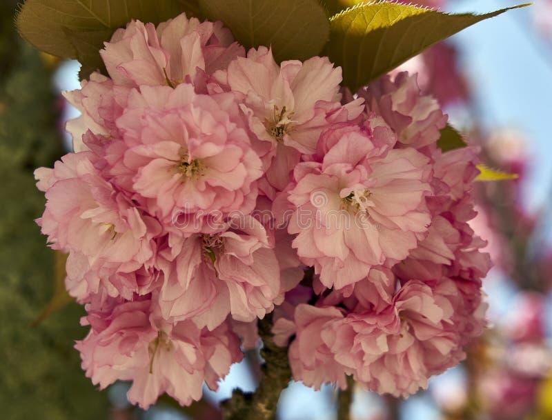Des fleurs de cerisier sur l'île de Miyajima photographie stock libre de droits