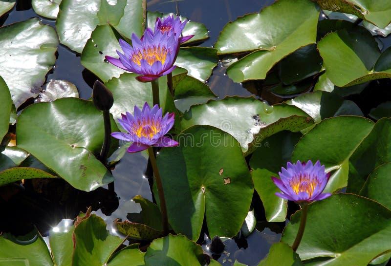 Des fleurs de lotus bleues dans un étang Srimangal à Sylhet Division, Bangladesh image stock
