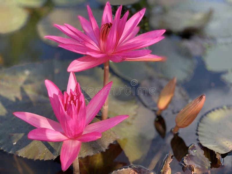 Des fleurs de lotus roses sont employées pour offrir des moines Ou utilisé pour décorer dans un vase images libres de droits
