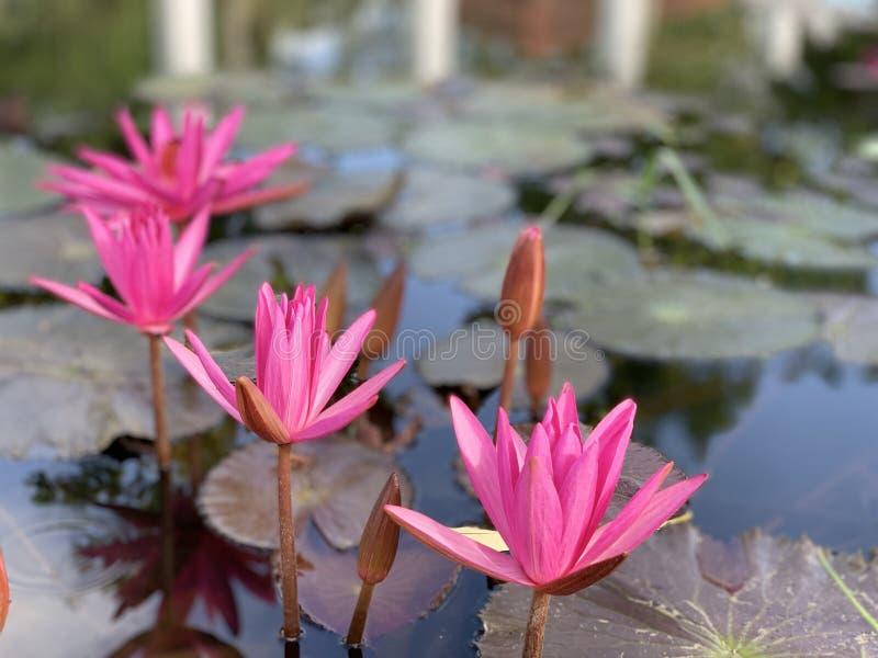 Des fleurs de lotus roses sont employées pour offrir des moines Ou utilisé pour décorer dans un vase images stock