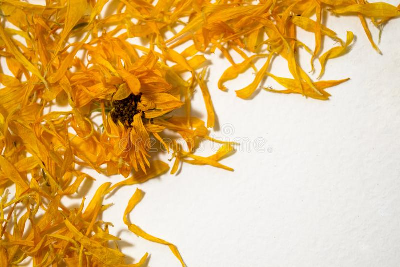 Des fleurs sèches calendulaed sur un fond blanc Vue supérieure Calendula Officinalis Vue des fleurs Pétales oranges image libre de droits