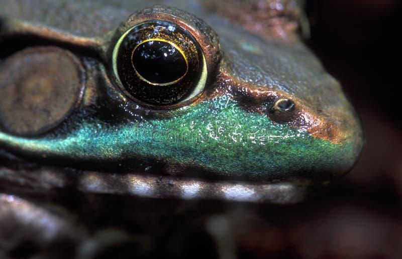 Des Frosches Abschluss Oben Stockbild