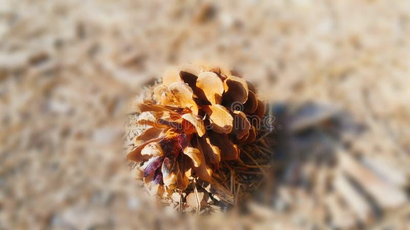 Des fruits arboricoles de pin images libres de droits