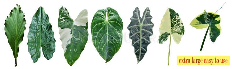 Des genres de feuilles de taro d'isolement ? l'arri?re-plan blanc, peuvent ?tre employ?s comme papier peint et fond photo libre de droits