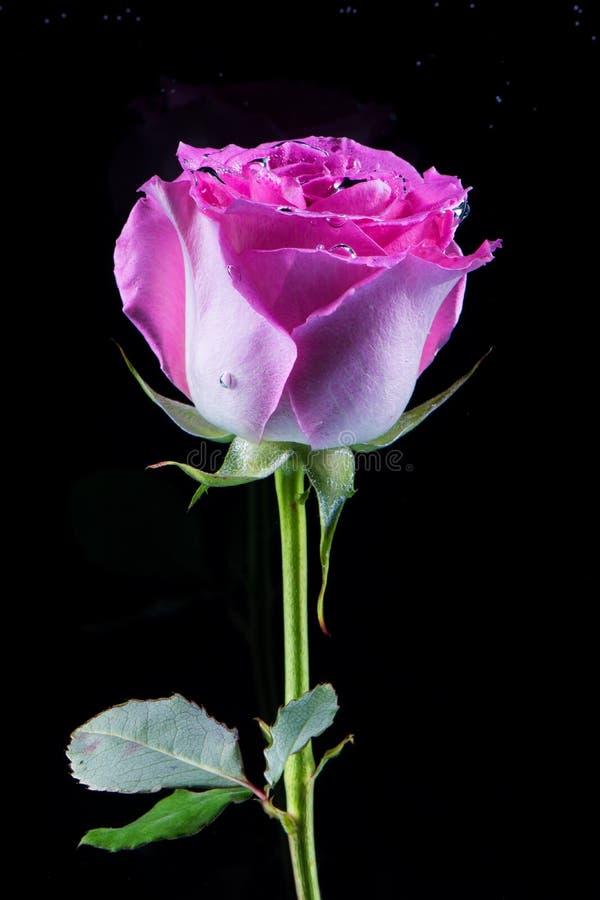 Des Geschenks Rosarose unter Wasser bedeckt mit Blasen auf dunklem backgrou lizenzfreies stockfoto
