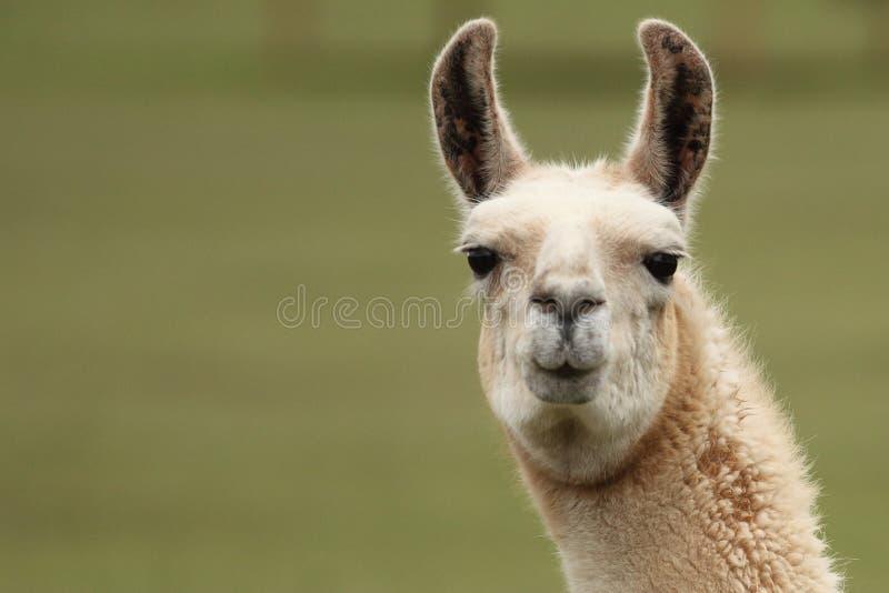 Des Gesichts-Abschlusses des Lamas hoher Blick stockbild