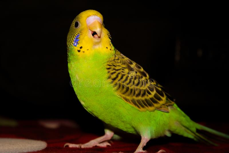 Des grünen des Wellensittichs schöner offener Mund und gelben Wellensittichs lizenzfreie stockfotos