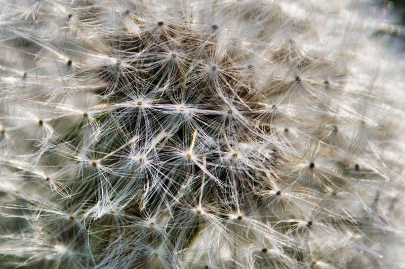 Des graines de pissenlit préparent pour être soufflées parties photographie stock