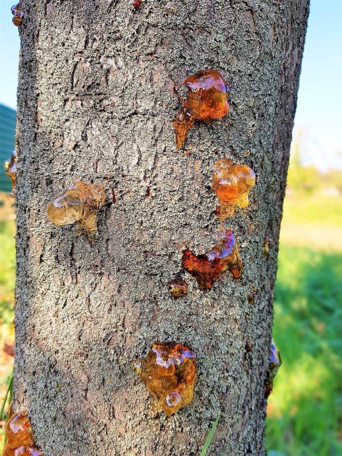 Des großen bernsteinfarbiger Abschluss Harz-Teers des Obstbaum-Stammes lizenzfreies stockfoto