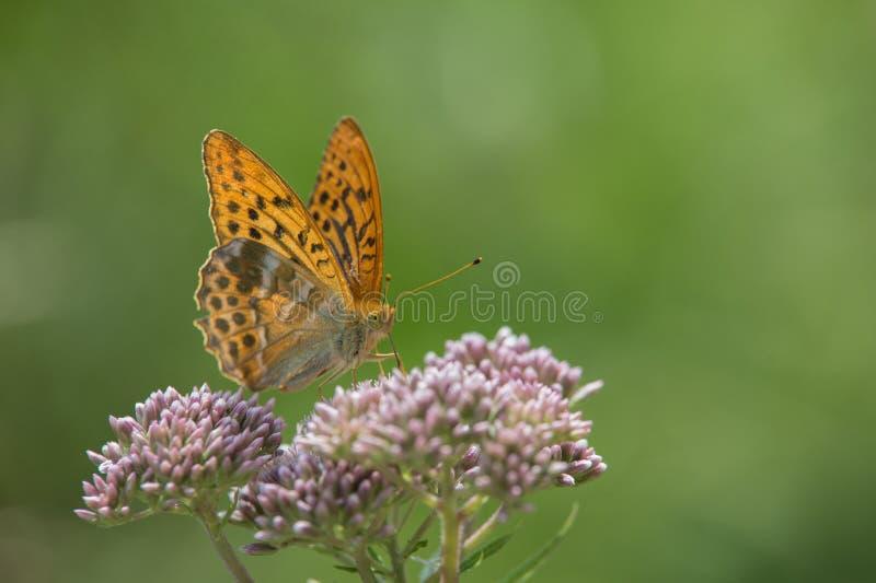 Des Insekts großer perliger orange brauner Schmetterling allein oben aufgeworfen auf einem Abschluss der weißen Blume stockbild