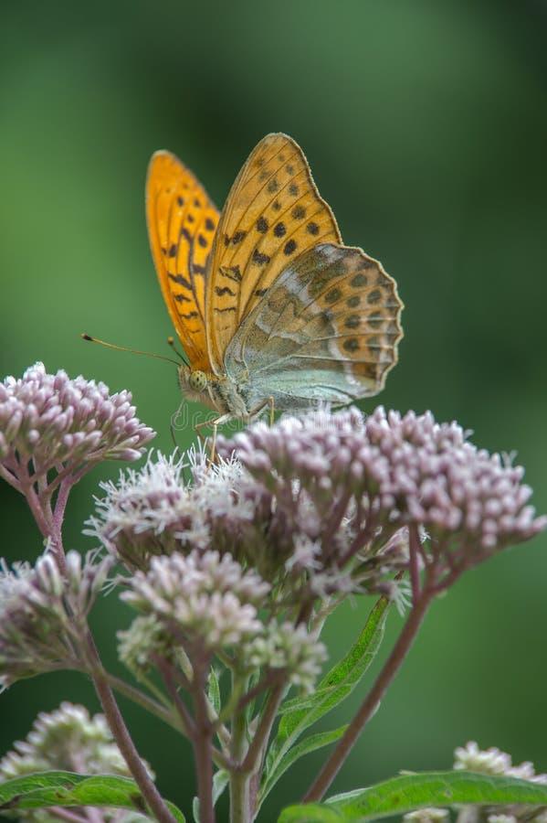 Des Insekts großes perliges Schmetterlingsbraun orange butine Blumenabschluß allein stockbilder