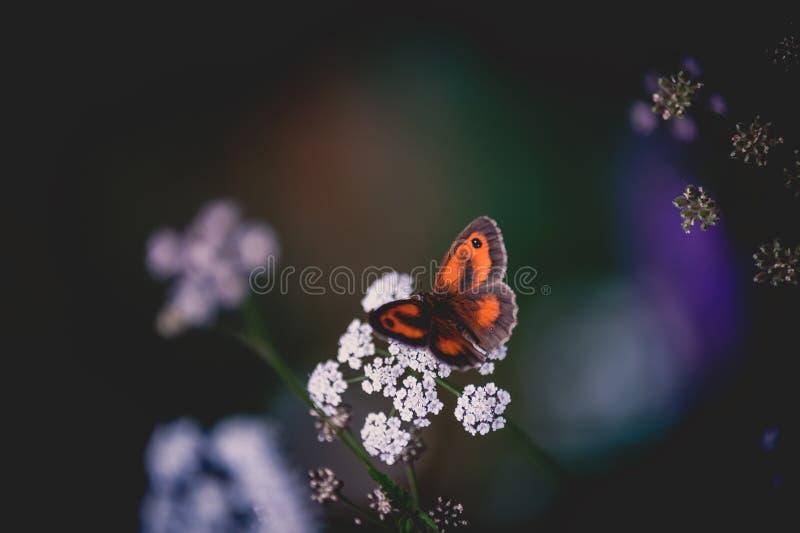 des Insekts orange brauner Schmetterling allein aufgeworfen auf einem Abschluss der weißen Blume oben im Sommer lizenzfreie stockbilder