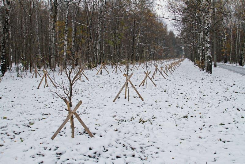 Des jeunes plantes des arbres sont plantées dans les rangées photos stock