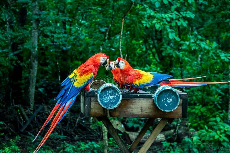 Des Keilschwanzsittich-Scharlachrot Fliegen-- Copan, Honduras stockbilder