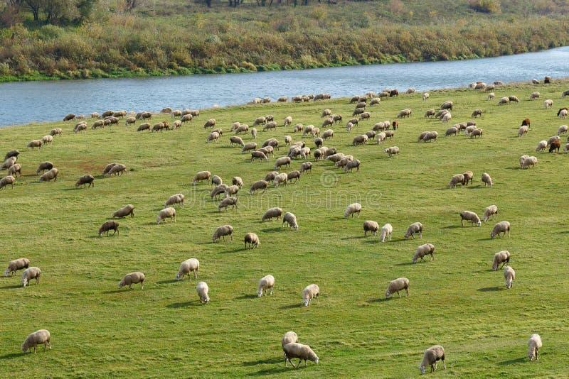 Des moutons sont frôlés sur un pré photo stock