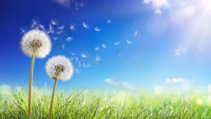 Des pissenlits avec le vent dans le domaine - sème le soufflement loin image stock