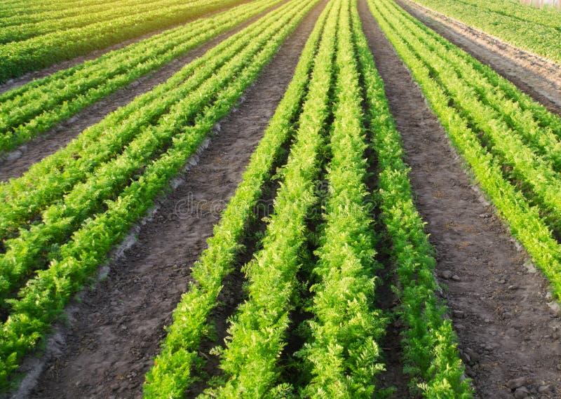 Des plantations de carotte sont d?velopp?es dans le domaine rang?es v?g?tales L?gumes organiques Agriculture de paysage Agricultu images stock