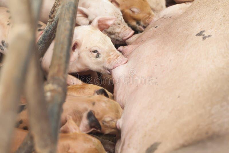 Des porcs de alimentation de petit porc sont rassemblés photographie stock