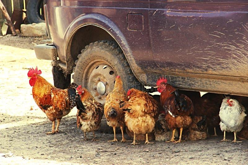 Des poulets animaux sont enregistrés dans l'ombre de la voiture du soleil photo stock
