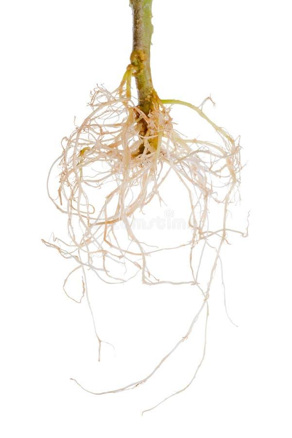 Des racines exposées de plante de tomate est isolées sur le blanc photographie stock libre de droits