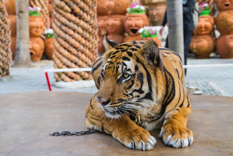 Des tigres sont liés avec des chaînes photos libres de droits