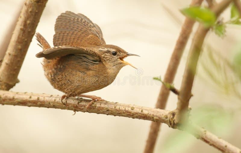 Des troglodytes chanteurs et de déploiements d'oiseau de roitelet troglodytes photos libres de droits