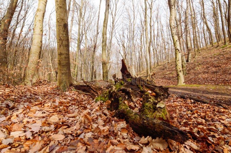 Des troncs et de la forêt d'arbre tombés images libres de droits