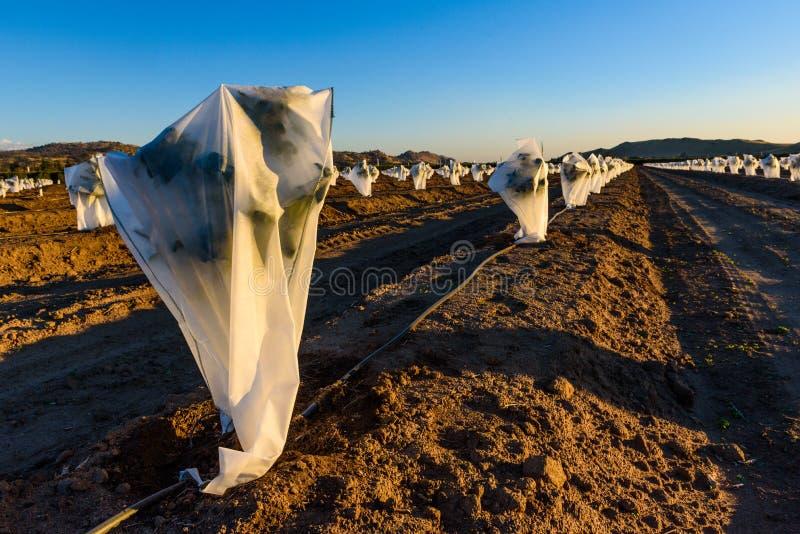 Des usines sont couvertes pour les protéger contre le gel photos libres de droits