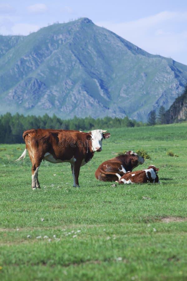 Des vaches sont frôlées en montagnes Russie siberia photographie stock
