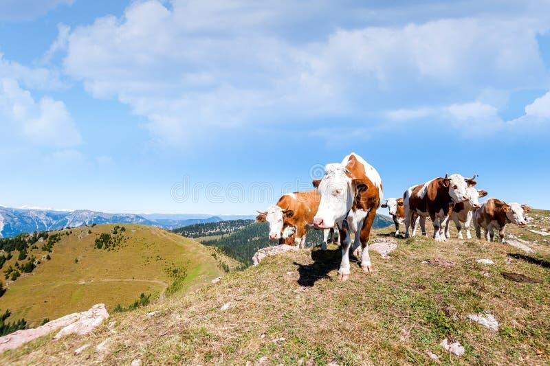 Des vaches sont frôlées sur un pré d'été en montagnes photos stock