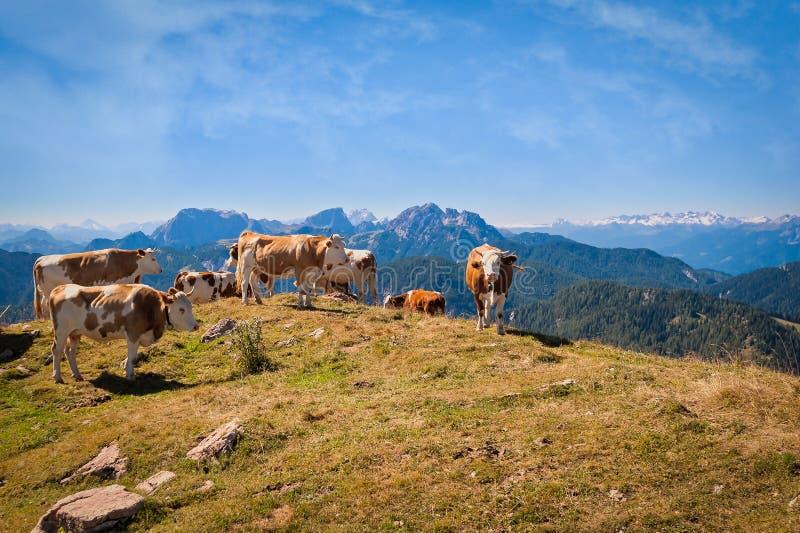 Des vaches sont frôlées sur un pré d'été en montagnes images libres de droits