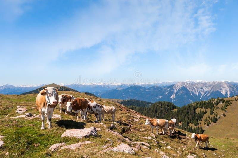Des vaches sont frôlées sur un pré d'été en montagnes images stock
