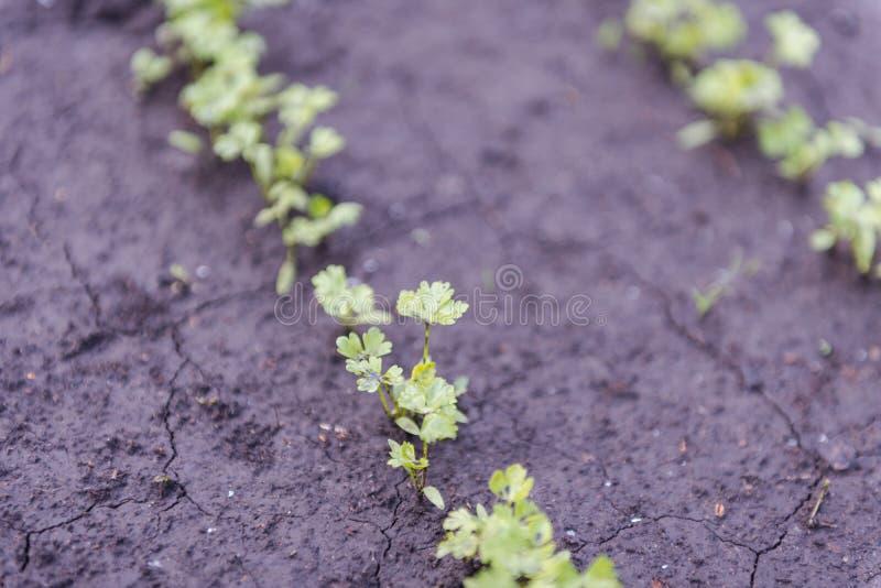 Des verts pour la salade dans le jardin verdure croissante images stock