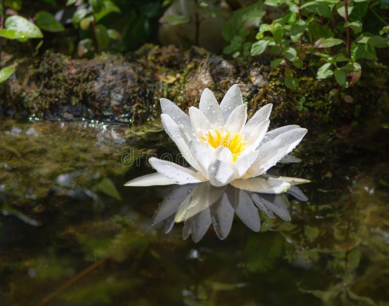 Des Wildwassers Blüte lilly in einem Teich lizenzfreie stockfotografie