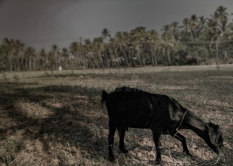 Des Ziegen-Reisfelds Malabar Kerala trockener Sommer Gras essend lizenzfreies stockbild