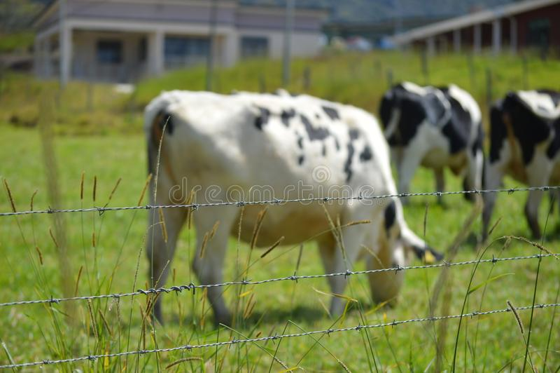 Desa Dairy Farm. This farm is located in Kundasang Sabah Malaysia. It caters for the milk supply of the state stock image