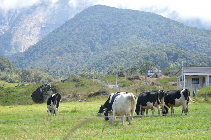 Desa Dairy Farm. This farm is located in Kundasang Sabah Malaysia. It caters for the milk supply of the state stock images