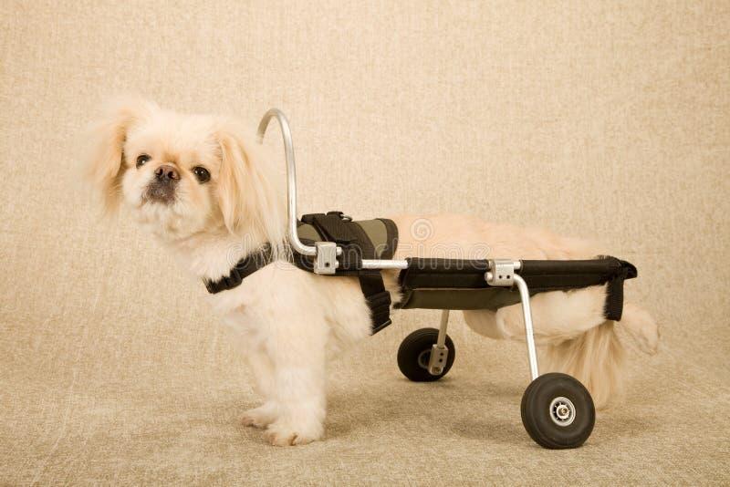 Desabilitou o cão de cachorrinho paralizado prendido com correias na cadeira de rodas canina do carro da inabilidade no fundo beg fotografia de stock royalty free