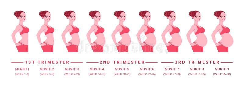 Desarrollo del embarazo por meses Ilustración aislada del vector ilustración del vector