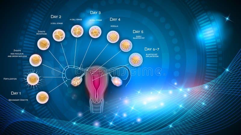 Desarrollo del embrión ilustración del vector