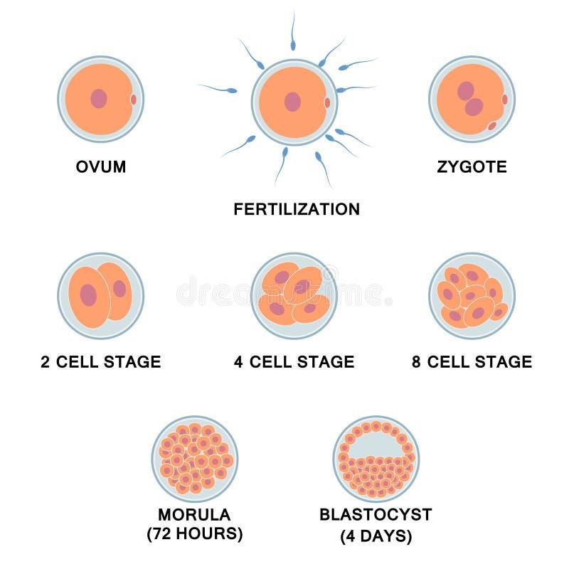 Desarrollo del embrión humano ilustración del vector