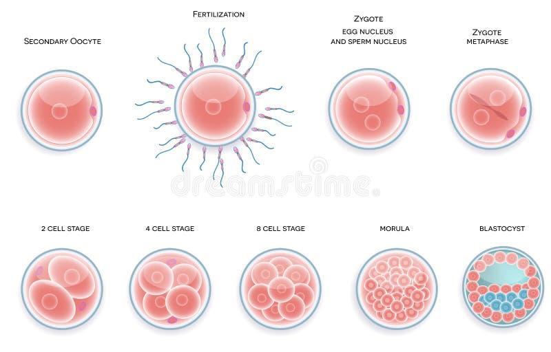 Desarrollo fertilizado de la célula. Las etapas de la fertilización labran moru ilustración del vector