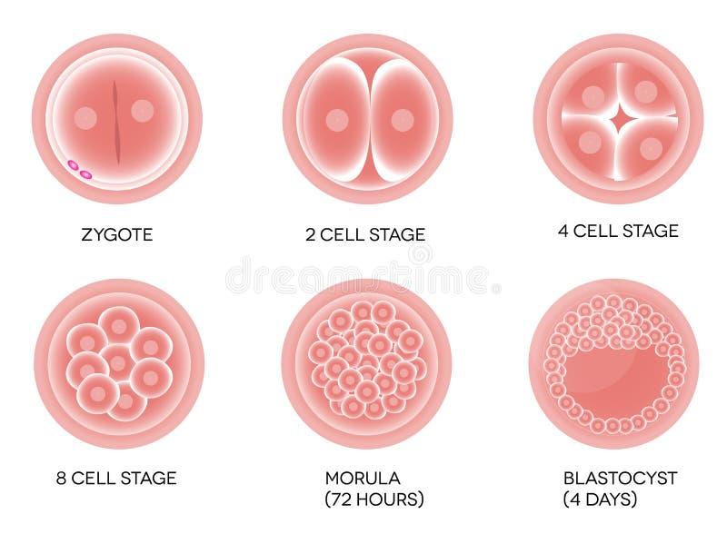 Desarrollo fertilizado del huevo ilustración del vector