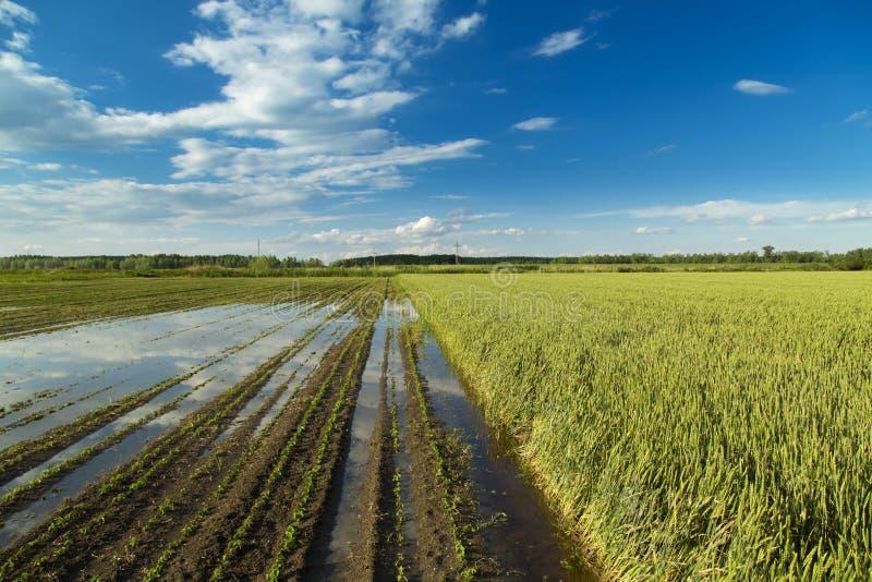 Desastre agrícola, campos de cosechas inundadas fotografía de archivo